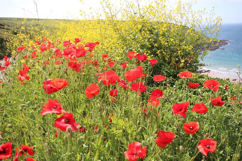 View poppies